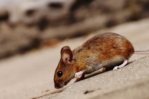 Mice Control, Pest Control in Parson's Green, SW6. Call Now 020 8166 9746