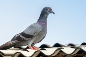 Pigeon Control, Pest Control in Parson's Green, SW6. Call Now 020 8166 9746